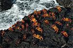 Sally Lightfoot Crab (Grapsus grapsus), Bachas beach, North Seymour Island, Galapagos Islands, UNESCO World Heritage Site, Ecuador, South America