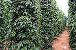 Black pepper plantation, Phu Quoc, Vietnam, Indochina, Southeast Asia, Asia