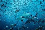 Bull sharks (Carcharhinus leucas), swimming among fish, underwater view, Beqa Lagoon, Beqa, Fiji