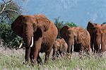 African elephants (Loxodonta africana), and calf walking in a line, Tsavo, Kenya, East Africa, Africa