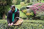 Man holding basket standing outdoors in tea plantation, carefully picking tea leaves.