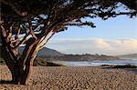 Beach, Carmel by the Sea, Monterey Cypress (Cupressus Macrocarpa) tree, Monterey Peninsula, Pacific Ocean, California, United States of America, North America