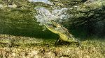 Chinchorro Banks american crocodiles, Xcalak, Quintana Roo, Mexico