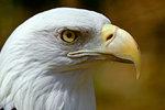 AMERICAN BALD EAGLE Haliaeetus leucocephalus CLOSE-UP PROFILE