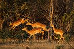 Impala (Aepyceros melampus), Mana Pools, Zimbabwe