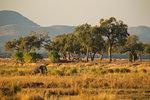Elephant (Loxodonta Africana), Mana Pools, Zimbabwe