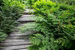 Fern growing around curved wooden boardwalk in a garden.