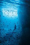 Woman snorkeling underwater among school of fish, Vava'u, Tonga, Pacific Ocean