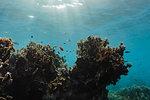Tropical fish swimming underwater among reef, Vava'u, Tonga, Pacific Ocean