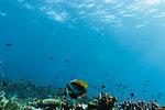 Tropical fish swimming underwater among reef in idyllic ocean, Vava'u, Tonga, Pacific Ocean