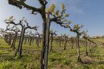Langhe, Cuneo district, Piedmont, Italy. Langhe wine region spring