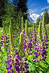 Bloom of lupine with Morterasch Glacier in the background. Morterasch Glacier, Bernina Pass, Engadin, Graubünden, Switzerland, Europe.