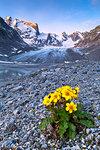 Flowering of anemones at Forno Glacier, Forno Valley, Maloja Pass, Engadin, Graubünden, Switzerland, Europe.