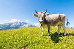Grey alpine cow, Val d'Ega / Eggental, Dolomites, Province of Bolzano, South Tyrol, italian alps, Italy
