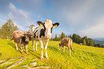 Cows at Latemar pastures, Val d'Ega / Eggental, Dolomites, Province of Bolzano, South Tyrol, italian alps, Italy