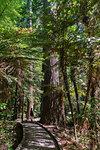 Woman walking on a footpath through The Redwoods, Whakarewarewa Forest. Rotorua, Bay of plenty region, North Island, New Zealand.