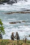 Couple of yellow eyed penguins at Katiki Point in summer. Moeraki peninsula, Waitaki district, Otago region, South Island, New Zealand.
