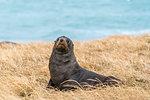 Fur seal on the grass at Katiki Point. Moeraki peninsula, Waitaki district, Otago region, South Island, New Zealand.