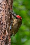 European green woodpecker feeds its young, Trentino Alto-Adige, Italy