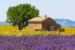 Europe, France,Provence Alpes Cote d'Azur,Plateau de Valensole.