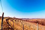 Collio Friulano, Udine Province, Friuli Venezia-Giulia, Italy. Sunny day in the vineyards.