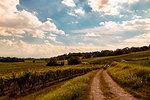 Cloudy day in the vineyards of Friuli. Udine Province, Friuli Venezia-Giulia, Italy