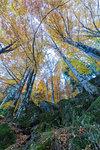 Tall trees in the forest of Bagni di Masino during autumn, Valmasino, Valtellina, Sondrio province, Lombardy, Italy
