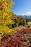 Yellow larches during autumn, Val Vezzola, Valdidentro, Valtellina, Sondrio province, Lombardy, Italy
