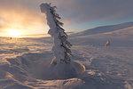 Isolated frozen tree at sunset, Pallas-Yllastunturi National Park, Muonio, Lapland, Finland