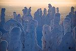 Sunset on frozen trees, Riisitunturi National Park, Posio, Lapland, Finland