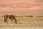 Wild horse, Aus, Namibia, Africa