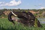 Elephant (Loxodonta africana) feeding in Chobe River, Chobe National Park, Botswana, Africa