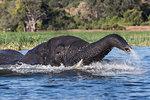 Elephant (Loxodonta africana) in Chobe River, Chobe National Park, Botswana, Africa