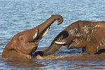 Elephant bulls (Loxodonta africana) playing in water, Zimanga Private Game Reserve, KwaZulu-Natal, South Africa, Africa