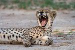 Cheetah (Acinonyx jubatus) yawning, Kgalagadi Transfrontier Park, South Africa, Africa