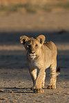 Lion (Panthera leo) cub, Kgalagadi Transfrontier Park, South Africa, Africa