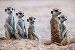 Meerkats (Suricata suricatta) at den, Kgalagadi Transfrontier Park, South Africa, Africa