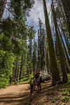 View of Giant Sequoias tree in Tuolumne Grove Trail, Yosemite National Park, UNESCO World Heritage Site, California, United States of America, North America