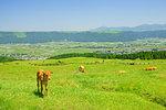 Calf in Aso, Kumamoto Prefecture, Japan