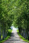 White Birch Tree line