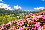 Rhododendrons with Maloja Pass in the background, Maloja Pass, Engadine, Graubunden, Switzerland, Europe