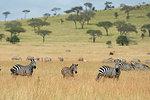 Plains zebras (Equus quagga) in the savannah, Seronera, Serengeti National Park, Tanzania, East Africa, Africa