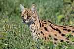 Serval (Leptailurus serval), Ndutu, Ngorongoro Conservation Area, Serengeti, Tanzania, East Africa, Africa