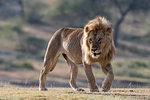 A male lion (Panthera leo), Ndutu, Ngorongoro Conservation Area, Serengeti, Tanzania, East Africa, Africa