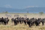 A herd of blue wildebeest (gnu) (Connochaetes taurinus), Ndutu, Ngorongoro Conservation Area, Serengeti, Tanzania, East Africa, Africa