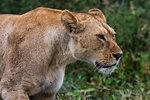 Portrait of a lioness (Panthera leo), Ndutu, Ngorongoro Conservation Area, Serengeti, Tanzania, East Africa, Africa