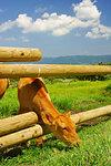 Calf in Ranch
