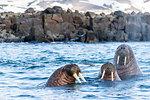 Adult male Atlantic walrus (Odobenus rosmarus rosmarus), Kapp Lee, Edgeoya, Svalbard Archipelago, Arctic, Norway, Europe