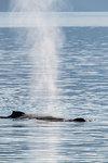 Adult humpback whale (Megaptera novaeangliae) surfacing in Stephen's Passage, Southeast Alaska, United States of America, North America