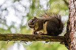An adult American red squirrel (Tamiasciurus hudsonicus), on Chichagof Island, Alaska, United States of America, North America